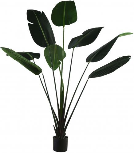 Block & Chisel strelitziaceae tree in plastic pot