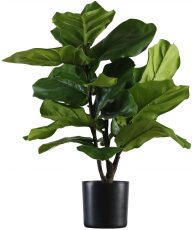 Block & Chisel fiddle tree in plastic pot