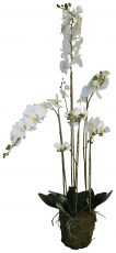 Block & Chisel phalaenopsis orchid in moss