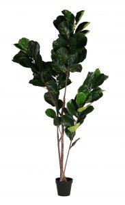 Block & Chisel fiddle tree in plastic pot